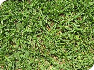 Grass Type - Kikuyu