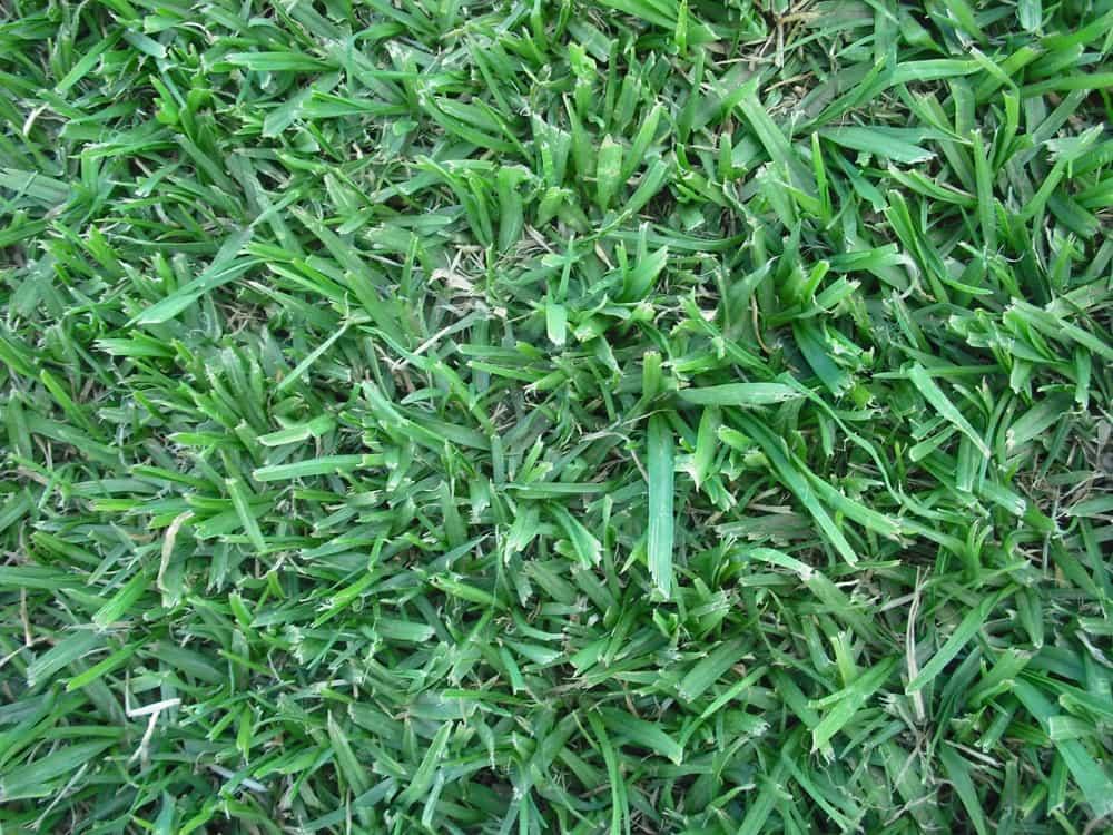 Grass Factory - Kikuyu