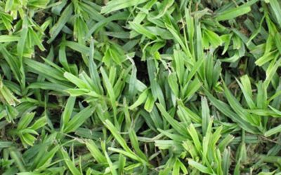 LM grass and other interesting info about this grass type