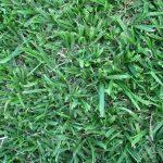 Grass Factory - Kikuyu Grasss